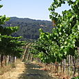 Vineyard_july08_0010
