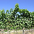 Vineyard_july08_0001