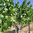 Vineyard_july08_0005