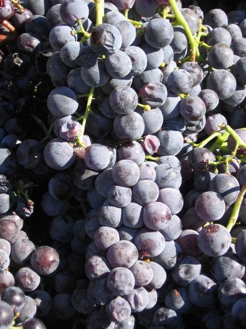 Harvest_2008_last_mourvedre_0002