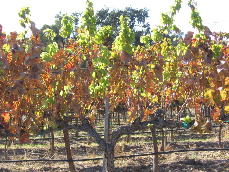 Autumn_2008_vineyard_images_40002
