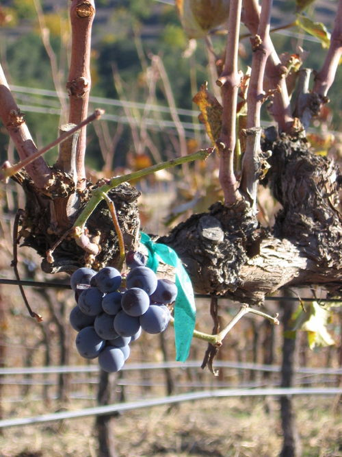 Autumn_2008_vineyard_images_40001