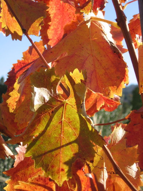 Autumn_2008_vineyard_essay_6_0003