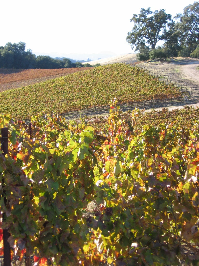 Autumn_2008_vineyard_essay_6_0002