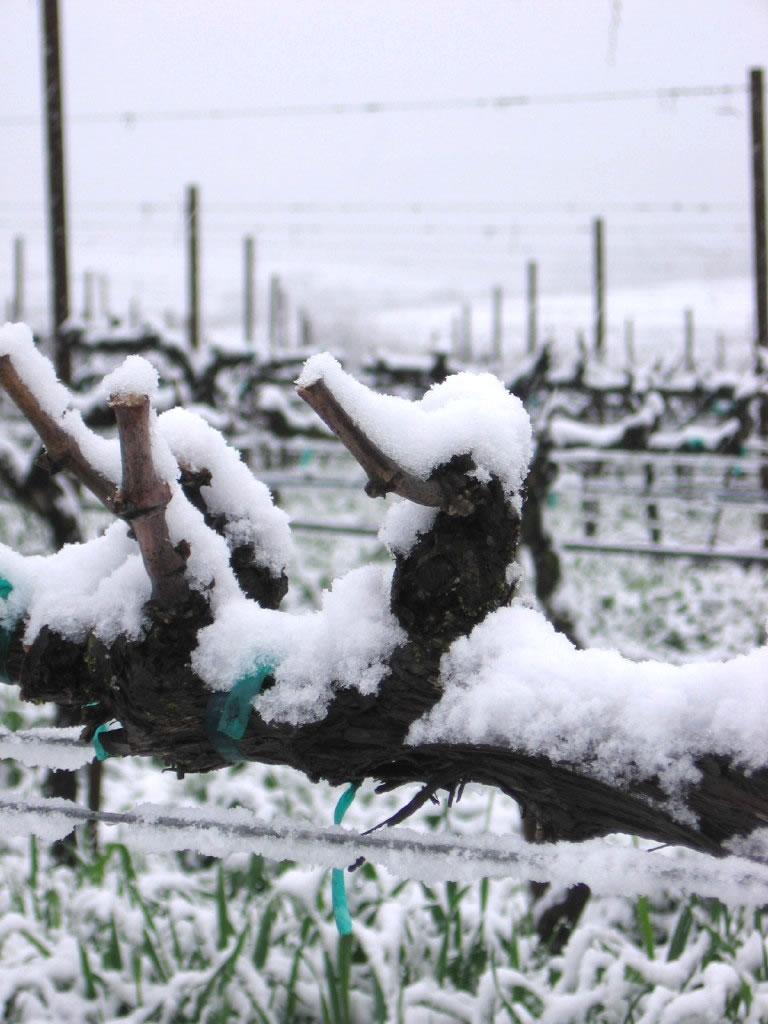 Roussanne vine closeup with snow