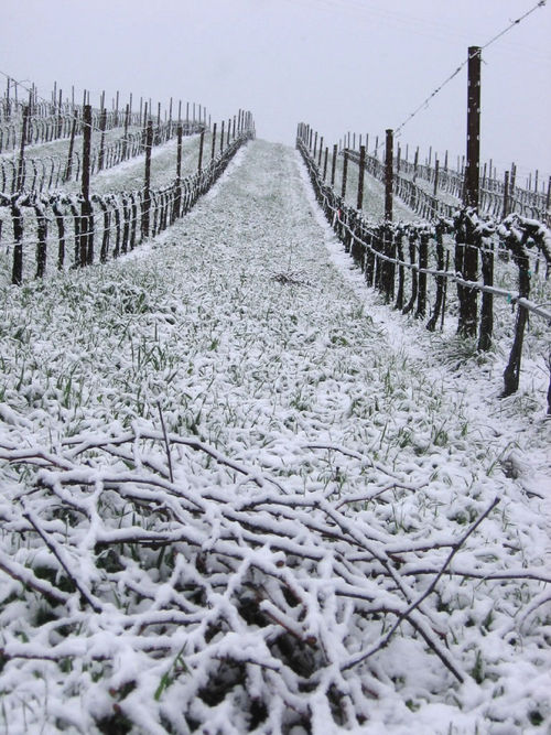 Roussanne block with pruned canes in foreground