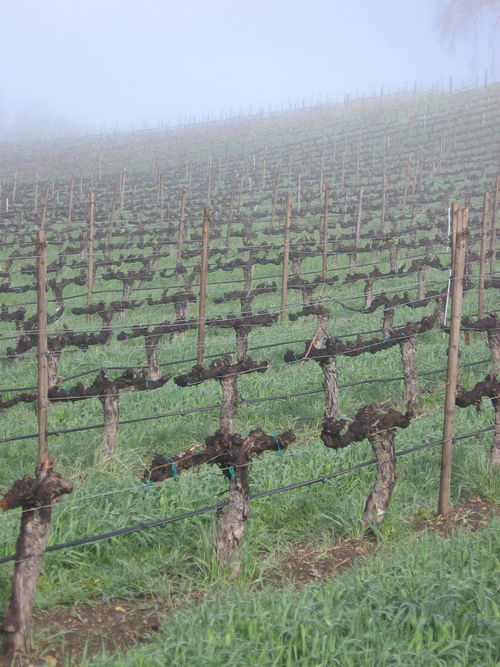 Vineyard_fog_0001