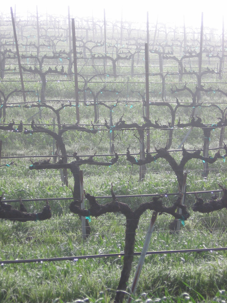Vineyard_fog_0002