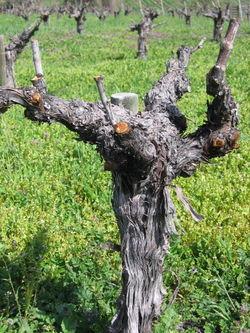 Head-pruned-mourvedre