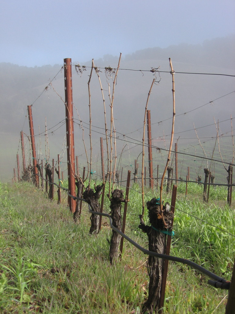 Vineyard_fog_0008