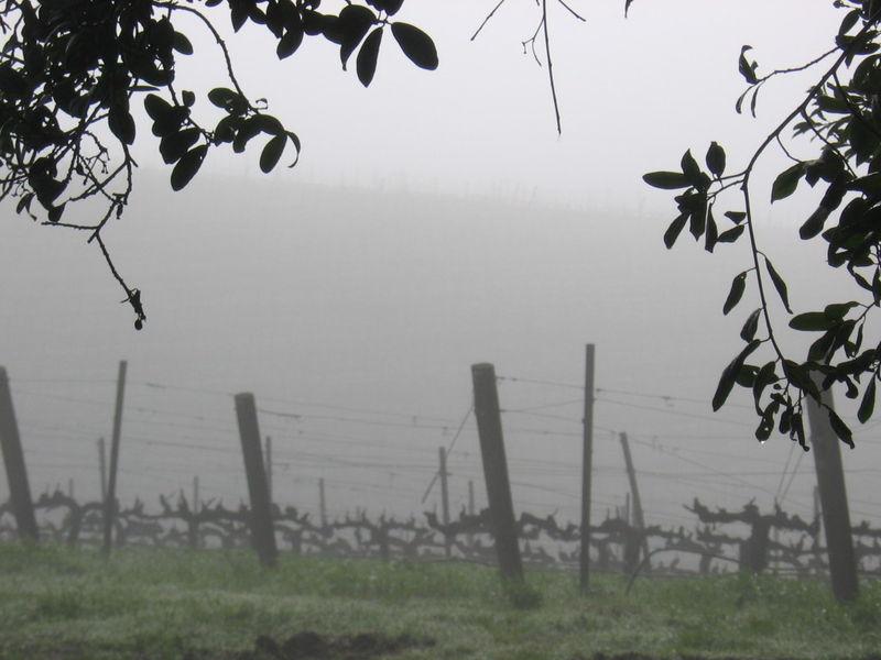 Vineyard_fog_0007