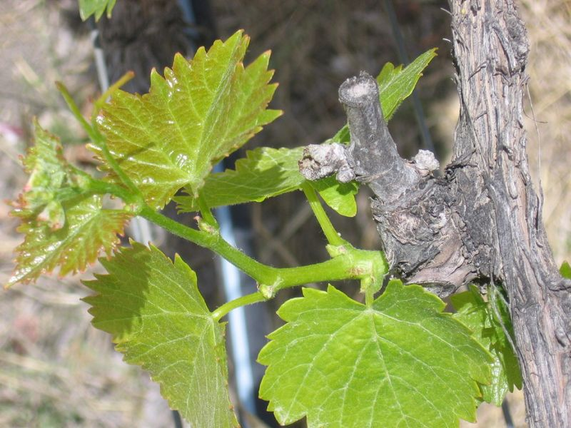 June_vineyard_0002