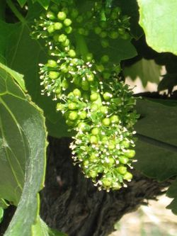 June_vineyard_0010