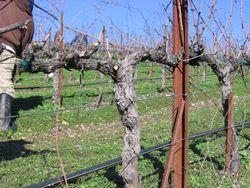 Pruning_2010_0008