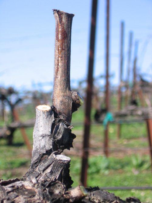 Pruning_2010_0002