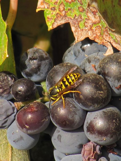 Bee on Mourvedre 2010