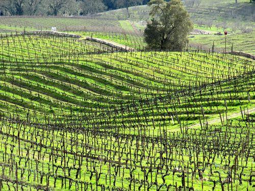 Green_vineyard_2011
