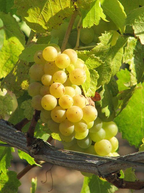 Grapes_sept2011_0004