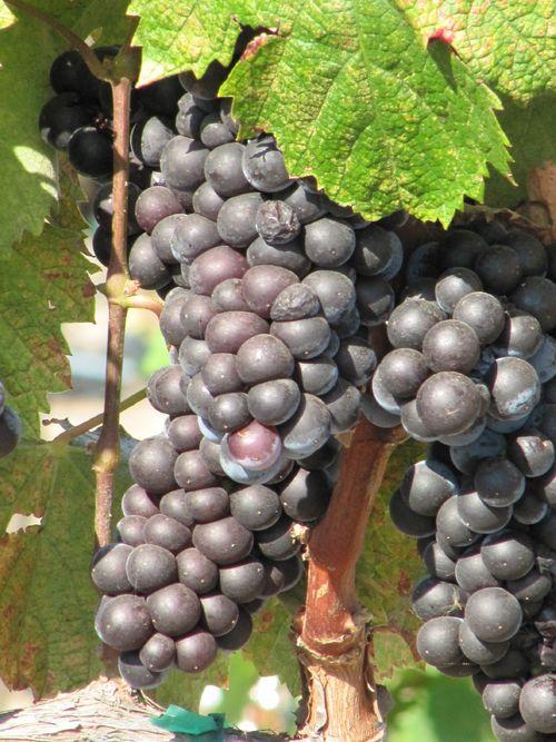 Grapes_sept2011_0003