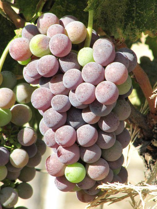 Grapes_sept2011_0006