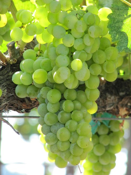 Grapes_sept2011_0008