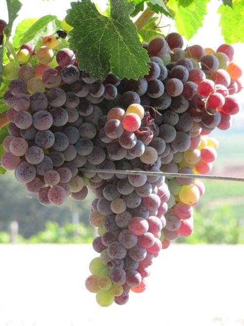 Grapes_sept2011_0001