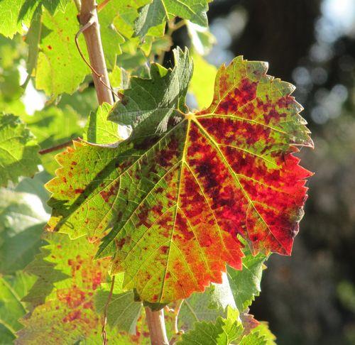 Mourvedre_leaf