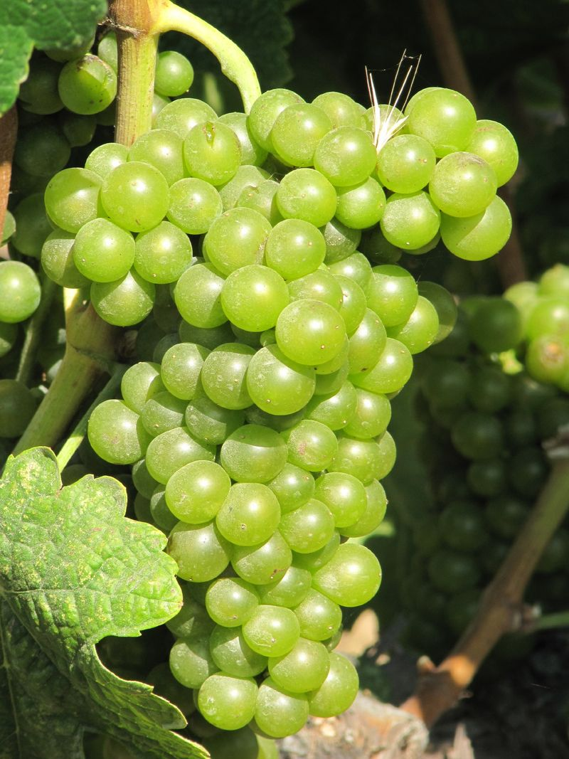 Grapes_sept2011_0002