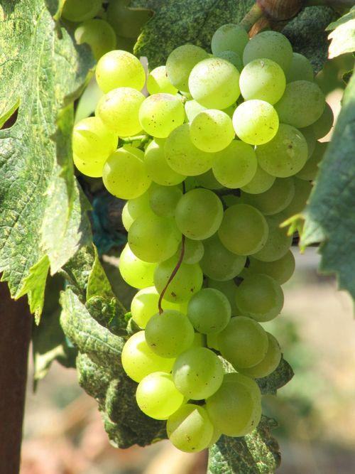 Grapes_sept2011_0009
