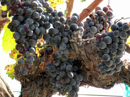 Mourvedre_on_vine