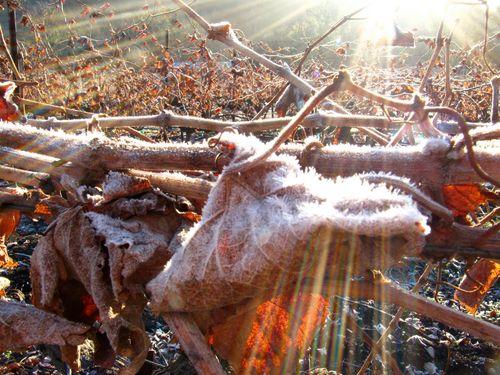 Frosty_leaves