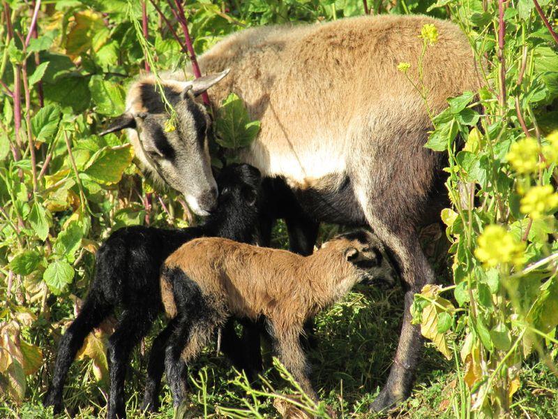 Lambs_0003