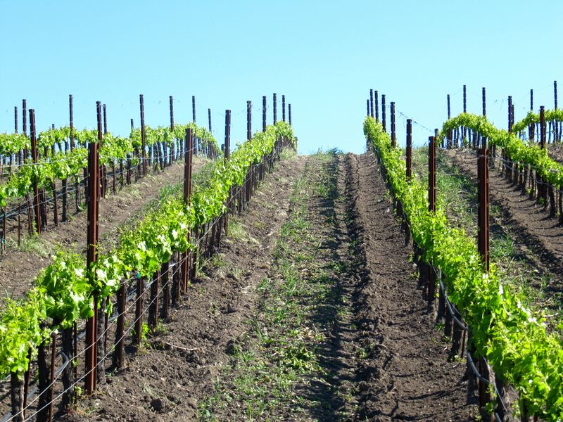 Grenache blanc rows may 2012