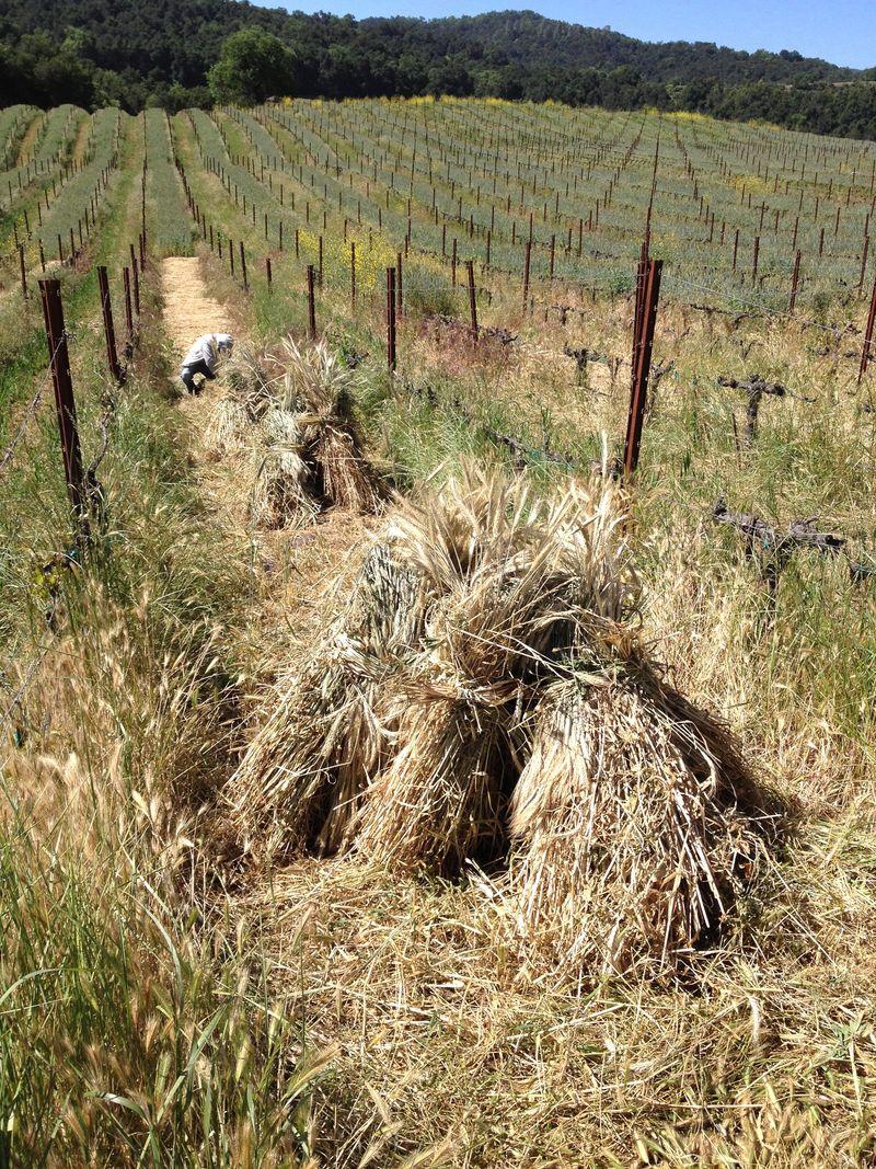 Barley harvest