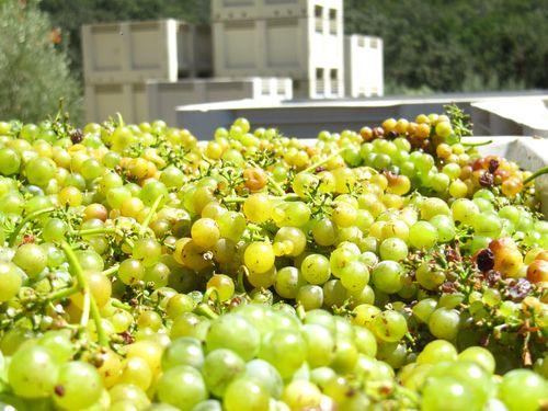 First Viogner bins for Patelin Blanc