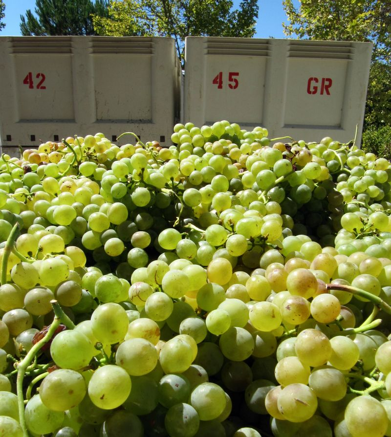 Grenache Blanc in bins Sept 2012