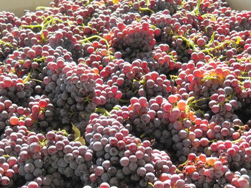 Patelin Grenache for Rose