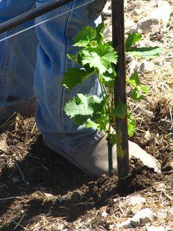 David with vine under foot