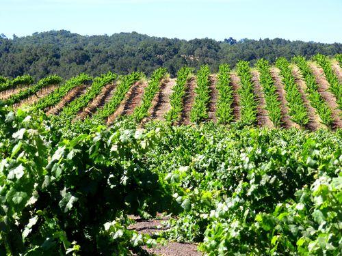 Green vineyard July 2013