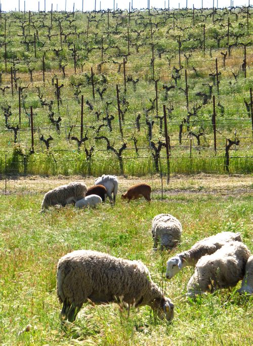 Sheep in the vineyard April 2013