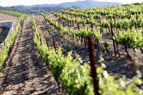 Vineyard in the Setting Sun May 2013