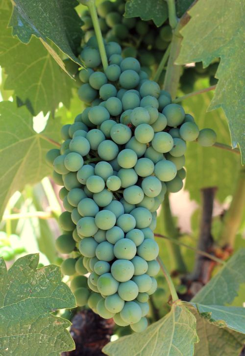 Shaded mourvedre cluster