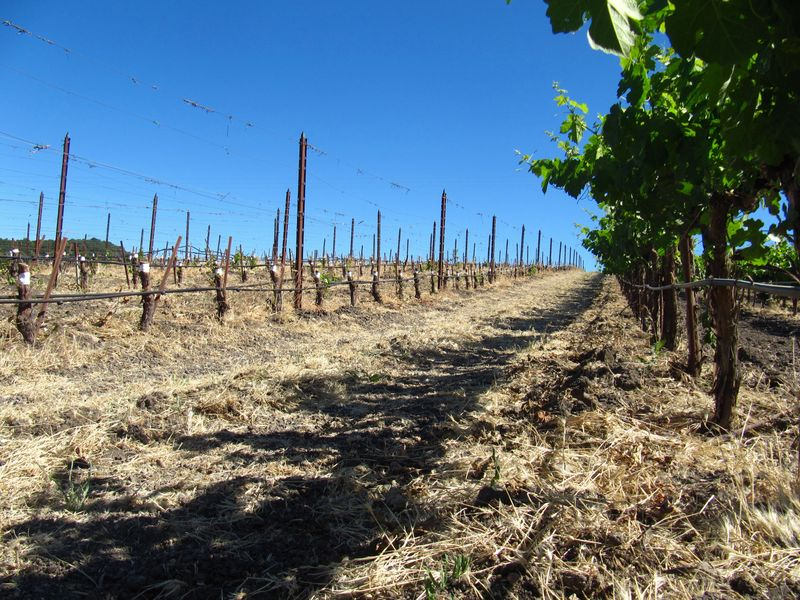 Grafting Over - Contrast with Roussanne