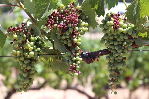 Sunburn on mourvedre