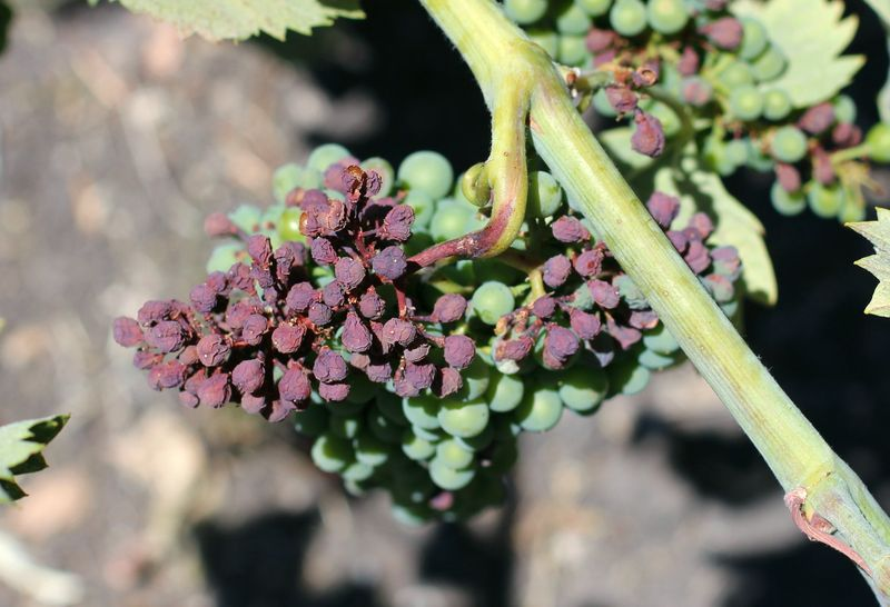 Sunburn on mourvedre 2