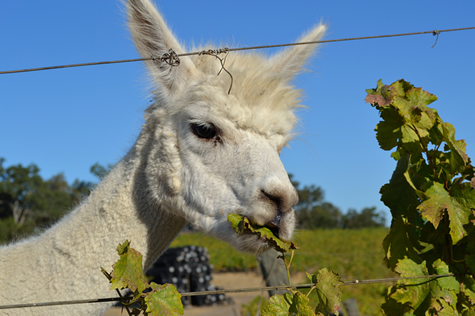 Alpaca munching