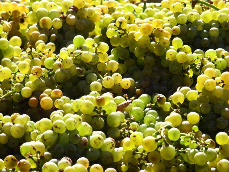 2013 Harvest-Picpoul