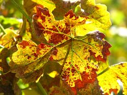 End Sept - Roussanne Leaf