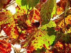 End Sept - Mourvedre Leaf 2
