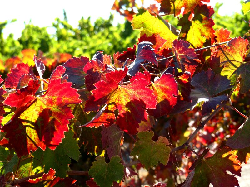 Colorful Syrah leaves